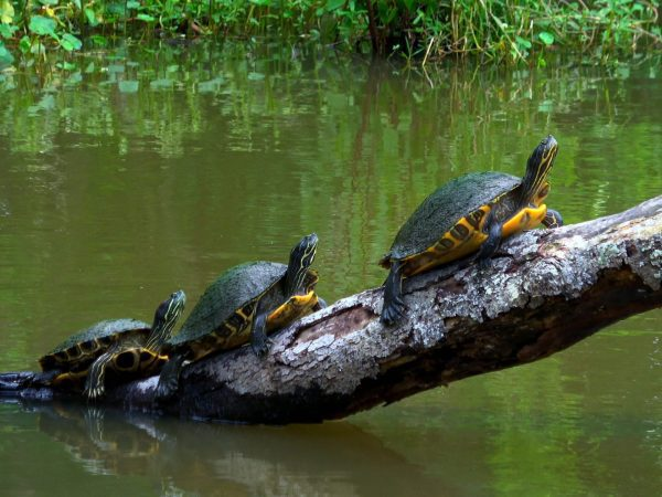 Turtles,In,The,Swamps,Of,Louisiana